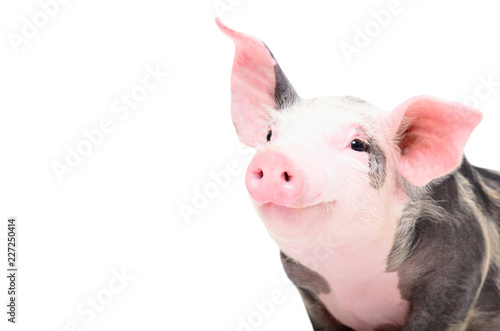 Fototapeta Portrait of a cute cheerful pig, isolated on white background