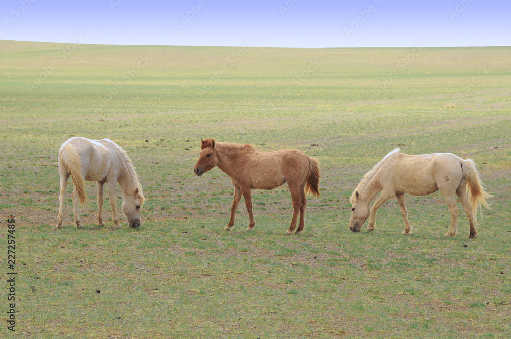 Fototapeta The Mongolian horse  -  native horse breed of Mongolia.