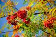 Vogelbeeren im Herbst, bunte Blätter