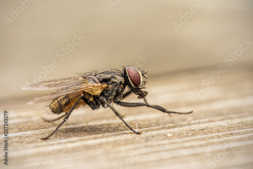 Fliege Makro