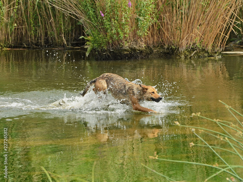 Garden Poster Hyena A dog is running after swimming in the river splashing through water with excitement