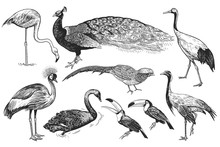 Realistic Birds Peacock, Toucan, Flamingos, Pheasant, Crane, Japanese Crane, Crowned Crane, Black Swan. Black And White Hand Drawing.