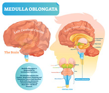 Medulla Oblongata Vector Illus...