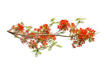 Flam-boyant, The Flame Tree, Royal Poinciana Flower On White Background With Clip Ping Path.