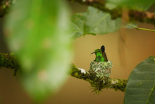 Nesting Hummingbird With Coppe...