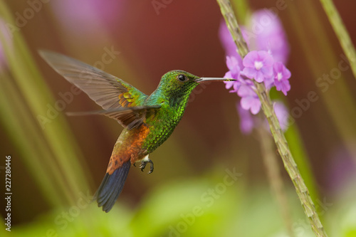 Stampa su Tela Close up, shining green, caribbean hummingbird with coppery colored wings and tail, Copper-rumped Hummingbird, Amazilia tobaci hovering and feeding from violet verbena flower
