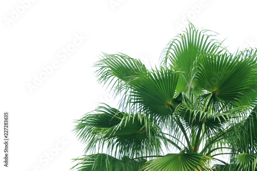 Canvas Prints Palm tree Exotic Tropical Palm Tree Isolated on White Background