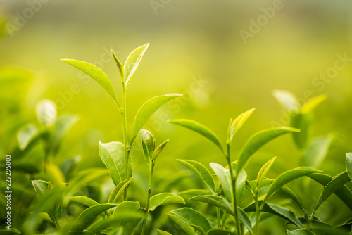 Foto  leaf green tea in the farm in the morning