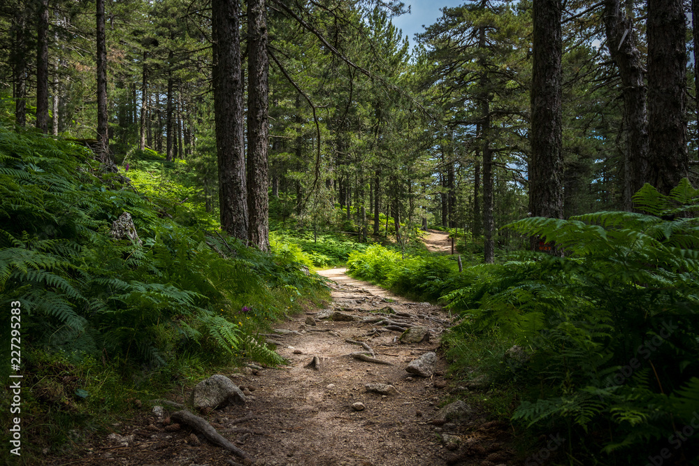 Fototapeta Mysterious path full of roots in the middle of wooden coniferous forrest, surrounded by green bushes and leaves and ferns found in Corse, France