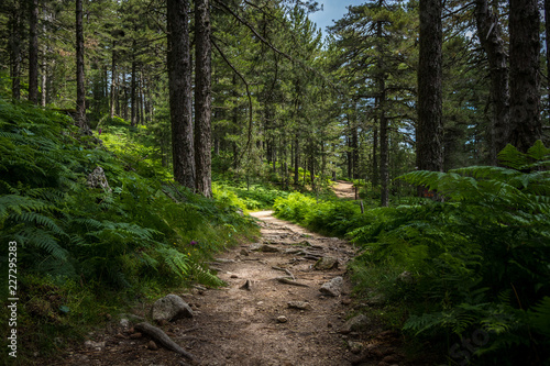 Mysterious path full of roots in the middle of wooden coniferous forrest, surrounded by green bushes and leaves and ferns found in Corse, France