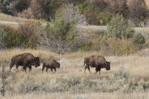 Photo  Bison at Theodore Roosevelt National Park in North Dakota, USA
