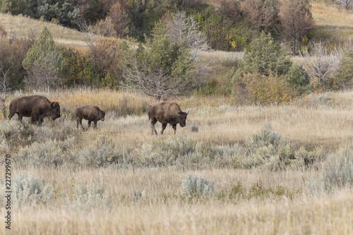 Photo  Bison at Theodore Roosevelt National Park in North Dakota, USA