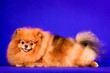 canvas print picture - Lovely Pomeranian doggy on blue background.