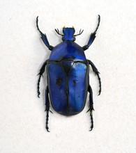 Big Blue Bug Cetonia Aurata