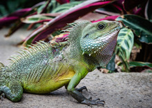 Close Up Of Chinese Water Dragon