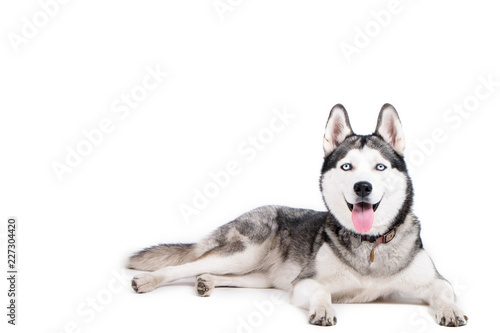 Vászonkép Portrait of young beautiful funny husky dog sitting with its tongue out on white isolated background