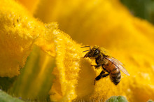 Bees At Work, Pollinating Pumpkin Flower