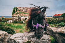 Miniature Horse In The Countryside