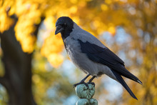 The Hooded Crow (Corvus Cornix) Sits On The Fence Against The Background Of Autumn Yellow Leaves