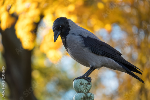 Fotografija The hooded crow (Corvus cornix) sits on the fence against the background of autu
