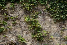English Ivy (Hedera Helix) Vin...