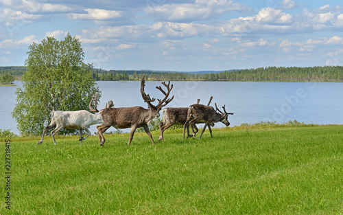 Reindeer on shore of northern lake in summer. Finnish Lapland