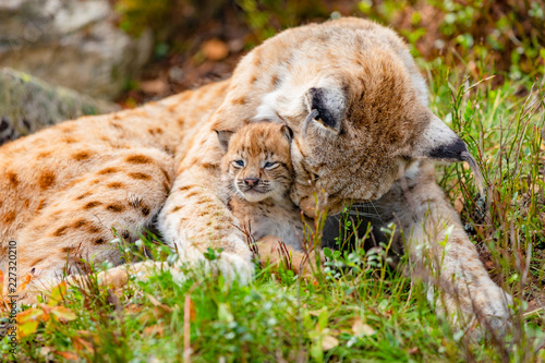 Fotografía Caring lynx mother and her cute young cub in the grass