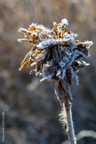 Fotografie, Obraz  Frost on wildflower