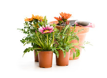 Colorful  Gazania Flowers In F...