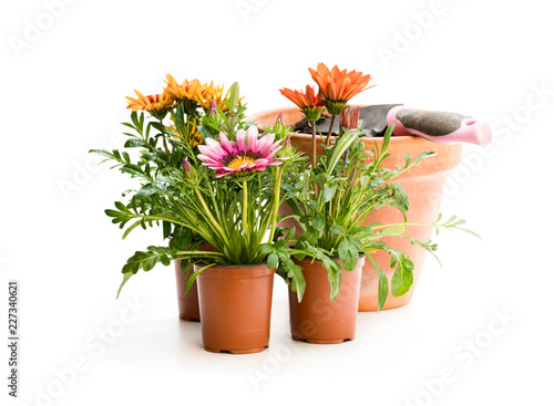 Colorful  Gazania flowers in flowerpot isolated on white Wallpaper Mural