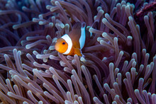 Clown Anemonefish, Amphiprion ...