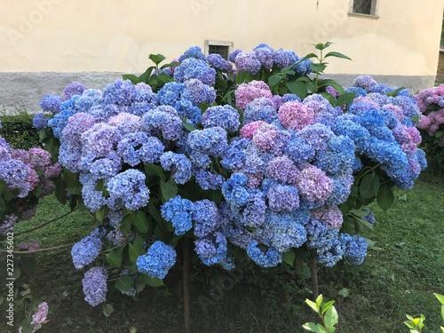 ortensie fiori bellissimi profumo quadro fiori fiorito blu viola colori Wallpaper Mural