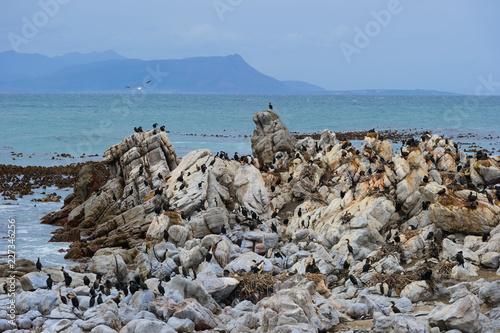 penguin Spheniscus demersus in south africa