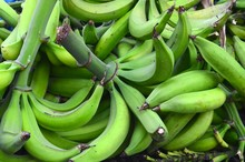 Large Bunch Of Green Bananas, Puerto Rican Plantain Farm, Fresh Harvest Of Green Plantains