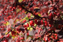 Cotoneaster Bush With Red Berr...