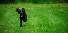 Black Cocker Spaniel Puppy Run...