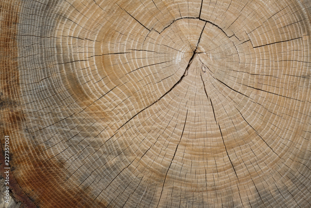 Growth Rings of an Oak Tree