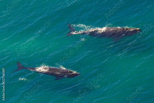 Whales: Mother and Calf off the shore in St Lucia, South Africa one of the top Safari Tour destinations. Aerial view.
