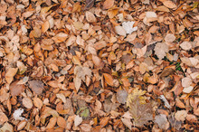 Background Made Of Fallen Autumn Leaves. Dry Autumn Leaves Covered The Ground.