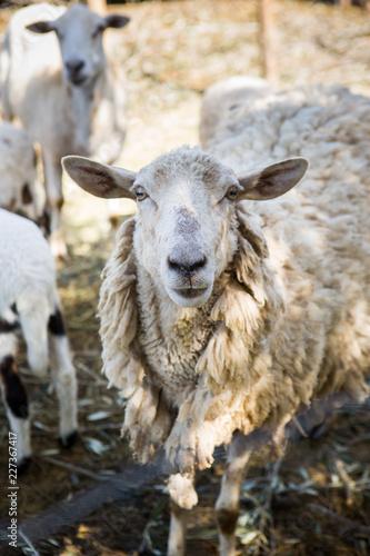 Sheep, Farm in Valle de Guadalupe, Mexico.