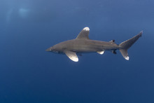 Oceanic Whitetip Shark In The ...