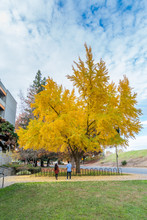 A Large Jingo Tree With Yellow...