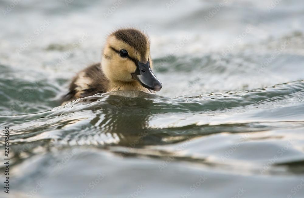 Fototapeta Mallard duck