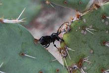 Cactus Longhorn Beetle Walking Along A Prickly Pear Cacti Pad. A Native Of The Sonoran Desert, Cholla Cactus Is Another Food They Enjoy.