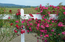 Red Roses Growing On White Fence