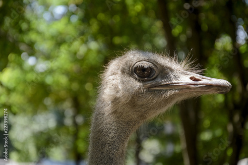 close up of a Ostrich head in a zoo.