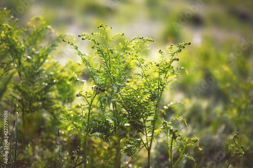 Fényképezés  Fresh fern in the meadow on a sunny spring morning