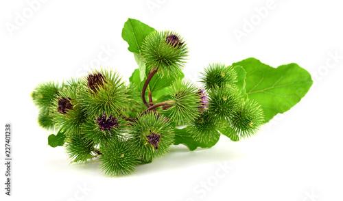 Photo Isolated Burdock (Arctium) Medicinal Plant.