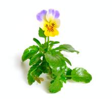 Viola Tricolor, Also Known As ...