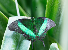 Lowi Butterfly On The Green Le...